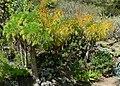 Coreopsis gigantea 1.jpg