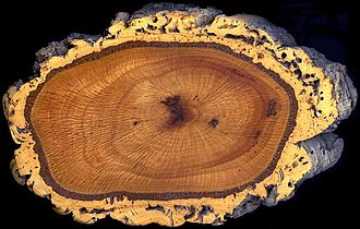 Quercus suber - A cross section of the trunk of a cork oak