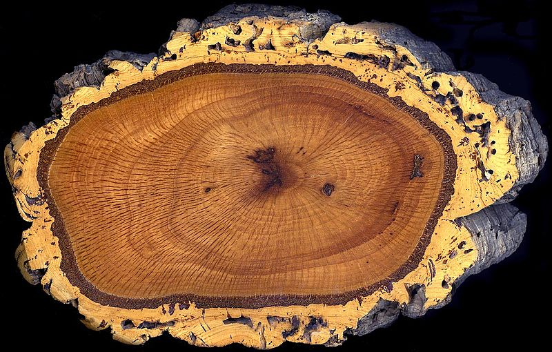 File:Cork oak trunk section.jpg