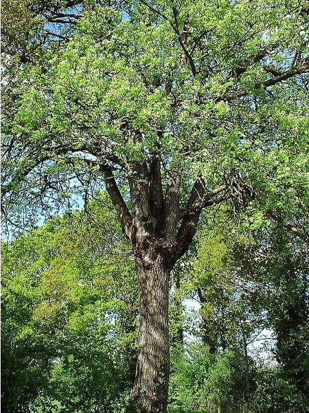 arbre le cormier