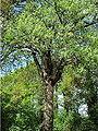 Cormier arbre.jpg