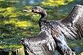 Cormorano comune (Phalacrocorax carbo) - Great cormorant, SantAlessio, Italia, 08.2018 (3).jpg