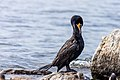 Cormorant (42077081630).jpg