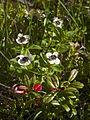 Cornus suecica LC0306.jpg