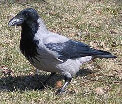 Corneille mantelée (Corvus cornix)
