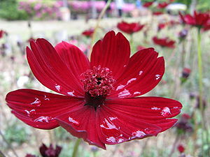Cosmos hybrida Strawberry Chocolate1.jpg