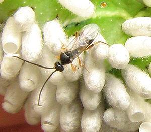 Pest control - Biological pest control: parasitoid wasp (Cotesia congregata) adult with pupal cocoons on its host, a tobacco hornworm Manduca sexta (green background)