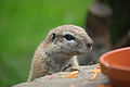 Cottbus Zoo - African Ground Squirrel.jpg