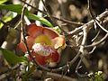 Couroupita guianensis Aubl. (4591137295).jpg