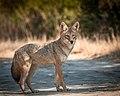 Coyote (38132396022).jpg