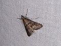 Crambidae sp. (39054217355).jpg
