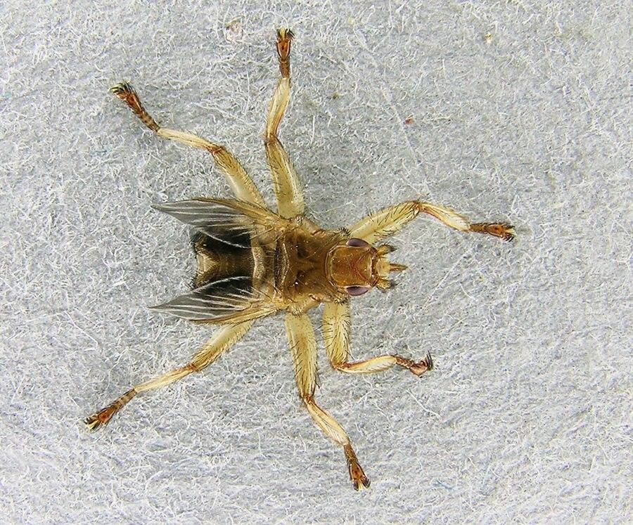 CrataerhinaPallida