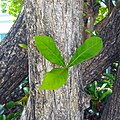 Crescentia cujete 03 leaves.jpg