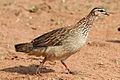 Crested Francolin, Dendroperdix sephaena at Borakalalo National Park, South Africa (9937719284).jpg