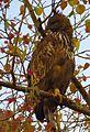 Crested Hawk Eagle in Gir Forest.jpg