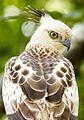 Crested hawk-eagle in Sri Lanka.jpg