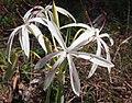 Crinum angustifolium flowers.jpg