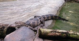 River Safari - Chinese alligator on exhibition