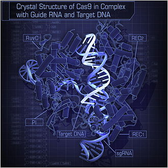 Cas9 - Image: Crystal Structure of Cas 9 in Complex with Guide RNA and Target DNA
