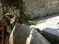 Ctenosaura Similis (3976759564).jpg
