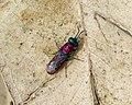 Cuckoo Wasp Chrysididae, probably Chrysura dichroa. Chrysididae (32585440665).jpg
