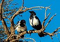 Cuervo pío (Corvus albus), Sossusvlei, Namibia, 2018-08-06, DD 007.jpg
