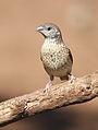 Cut-throat finch, Amadina fasciata at Mapungubwe National Park, Limpopo, South Africa (album includes copulating pair) (17679210900).jpg