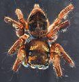 Cuvette spider, U, back 2012-12-12-14.26.02 ZS PMax (8270178823).jpg