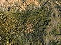 Cyanobacterial-algal mat.jpg