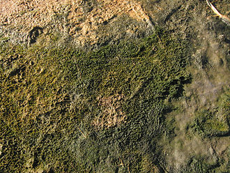 Marine life - Microbial mats are the earliest form of life on Earth for which there is good fossil evidence. The image shows a cyanobacterial-algal mat.