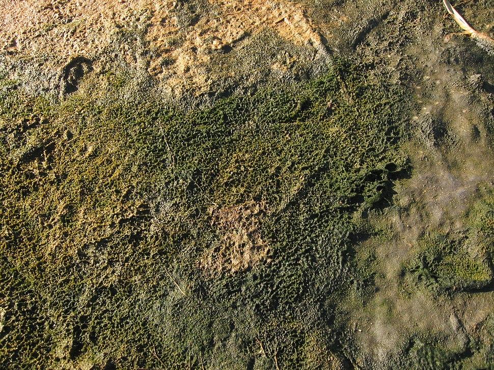 Cyanobacterial-algal mat