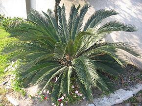 Cycas du japon wikip dia for Plante ornementale exterieur