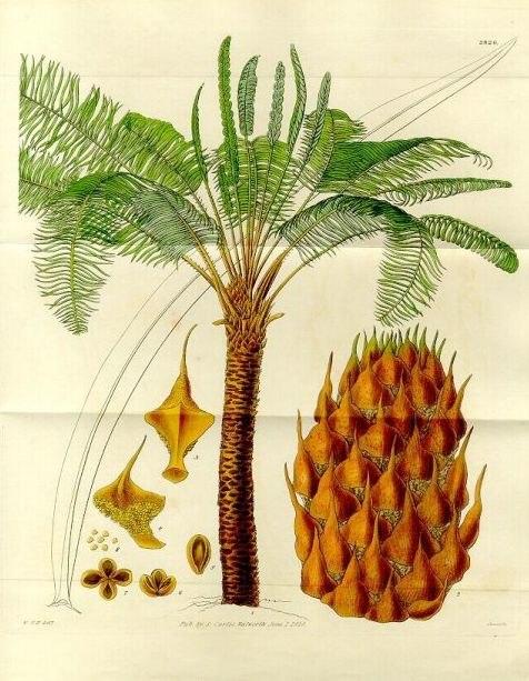 Cycas circinalis(draw)
