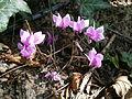 Cyclamen hederifolium Amaze Me4.jpg