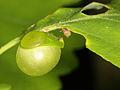 Cynips quercusfolii (Hymenoptera- Cynipidae) - Galle der Gemeinen Eichengallwespe (10136339405).jpg