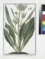 Cynoglossum montanum maximum - Cinoglassa + Langue de Chien. (Dog's or Hound's tongue) (NYPL b14444147-1125067).tiff