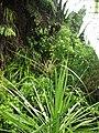 Cyperus ustulatus ustulatus A.Rich. (AM AK290603-2).jpg