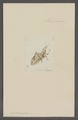 Cyrtophyllus - Print - Iconographia Zoologica - Special Collections University of Amsterdam - UBAINV0274 066 01 0034.tif