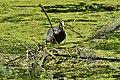 DSC0125 Blässhuhn beim Nestbau im Pfrunger-Burgweiler Ried.jpg