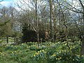 Daffodils and trees. - geograph.org.uk - 280133.jpg