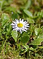 Daisy on my lawn - Carrickfergus Co Antrim - panoramio.jpg