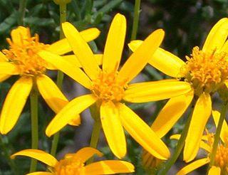 <i>Chrysactinia</i> genus of plants