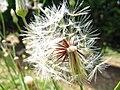 Dandelion - seed head.jpg