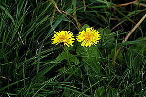 Two dandelions side-by-side in some grass.