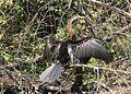 Darter (Anhinga melanogaster) Bharatpur, India. (207).jpg