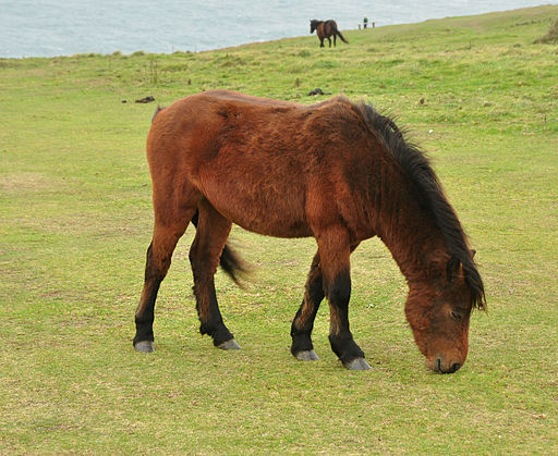 Dartmoor Pony at Rame Head