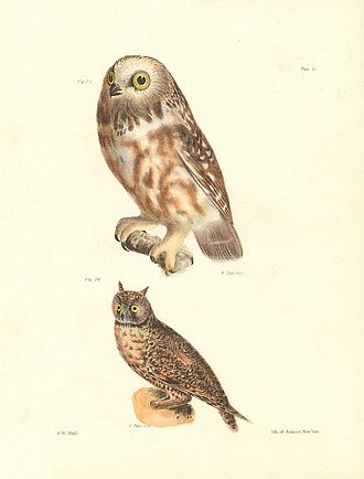 "James Ellsworth De Kay - ""Plate XI. Fig. 23. The Acadian Owl (Ulula acadica). 24. The Long eared Owl (Otus americanus)."" Drawings by John William Hill in Zoology of New York."