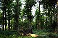 Death of a beech tree.JPG