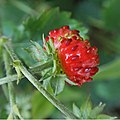 December Strawberry (23589050730).jpg