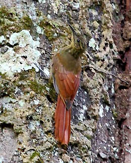 Deconychura longicauda - Long-tailed Woodcreeper.JPG
